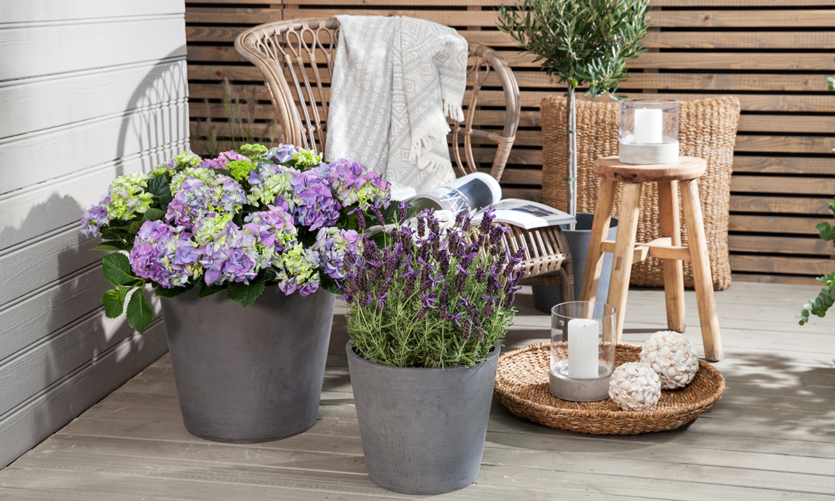 Hortensia_lavendel_oliventre_Ecopots_1200x720